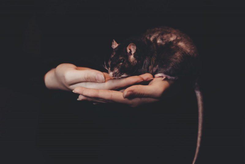 why-rats-make-great-pets